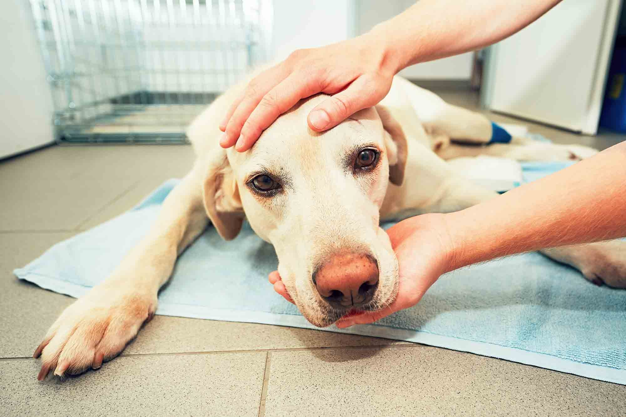 The dog flu is a serious threat to dog health