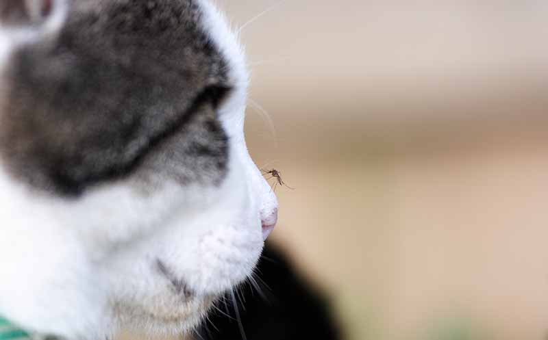 Heartworm in cats can be a fatal cat disease.
