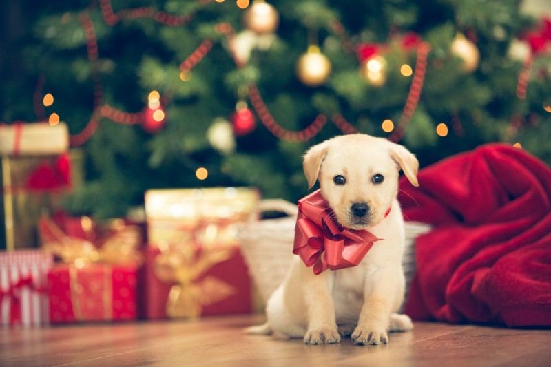 Plan ahead if you plan to give a pet as a gift, and please adopt a pet if you do!
