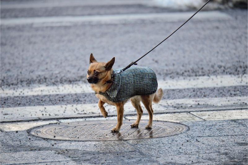 chihuahua on leash