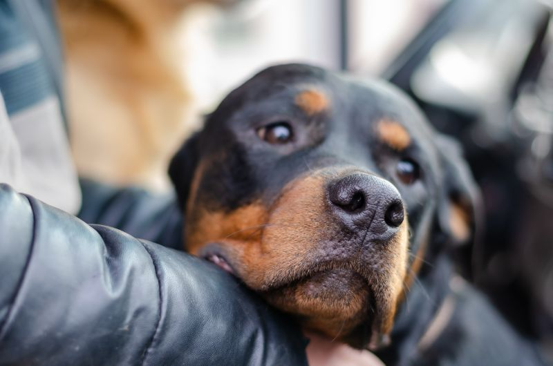 rottweiler on owners lap