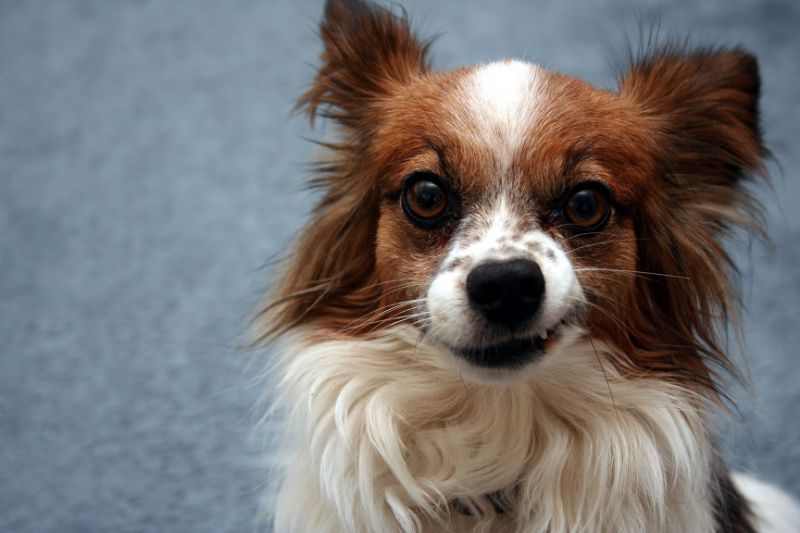 small dog growling
