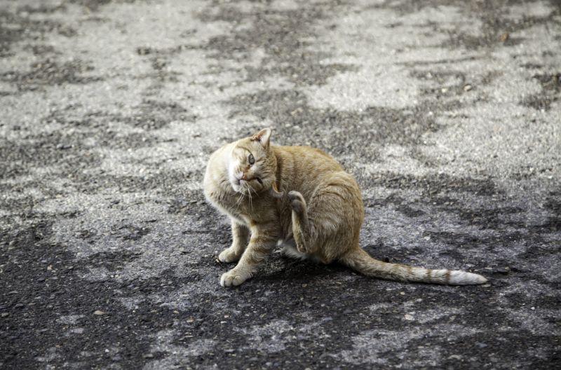 cat scratching head