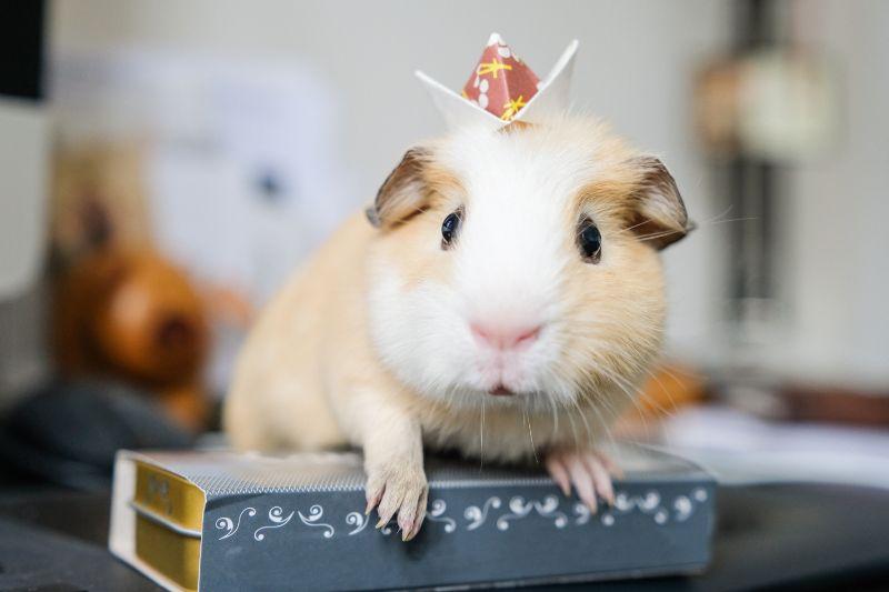 pocket pet guinea pig