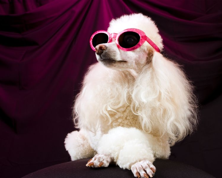 A white poodle in pink sunglasses sits with crossed paws.
