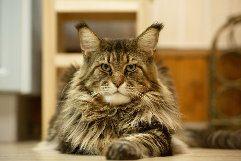 A large, furry cat stares at the camera.