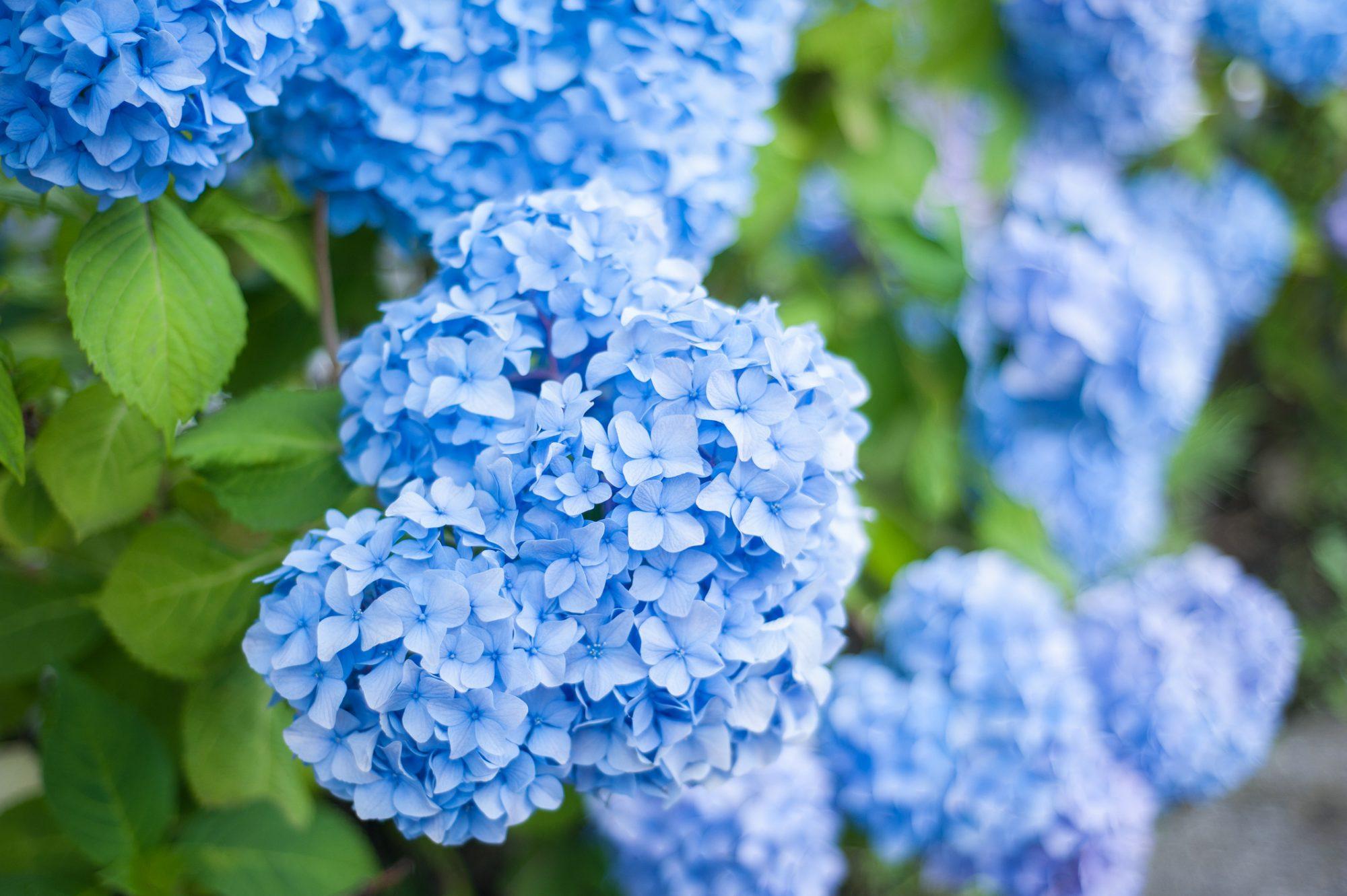 Blue hydrangeas in bloom.