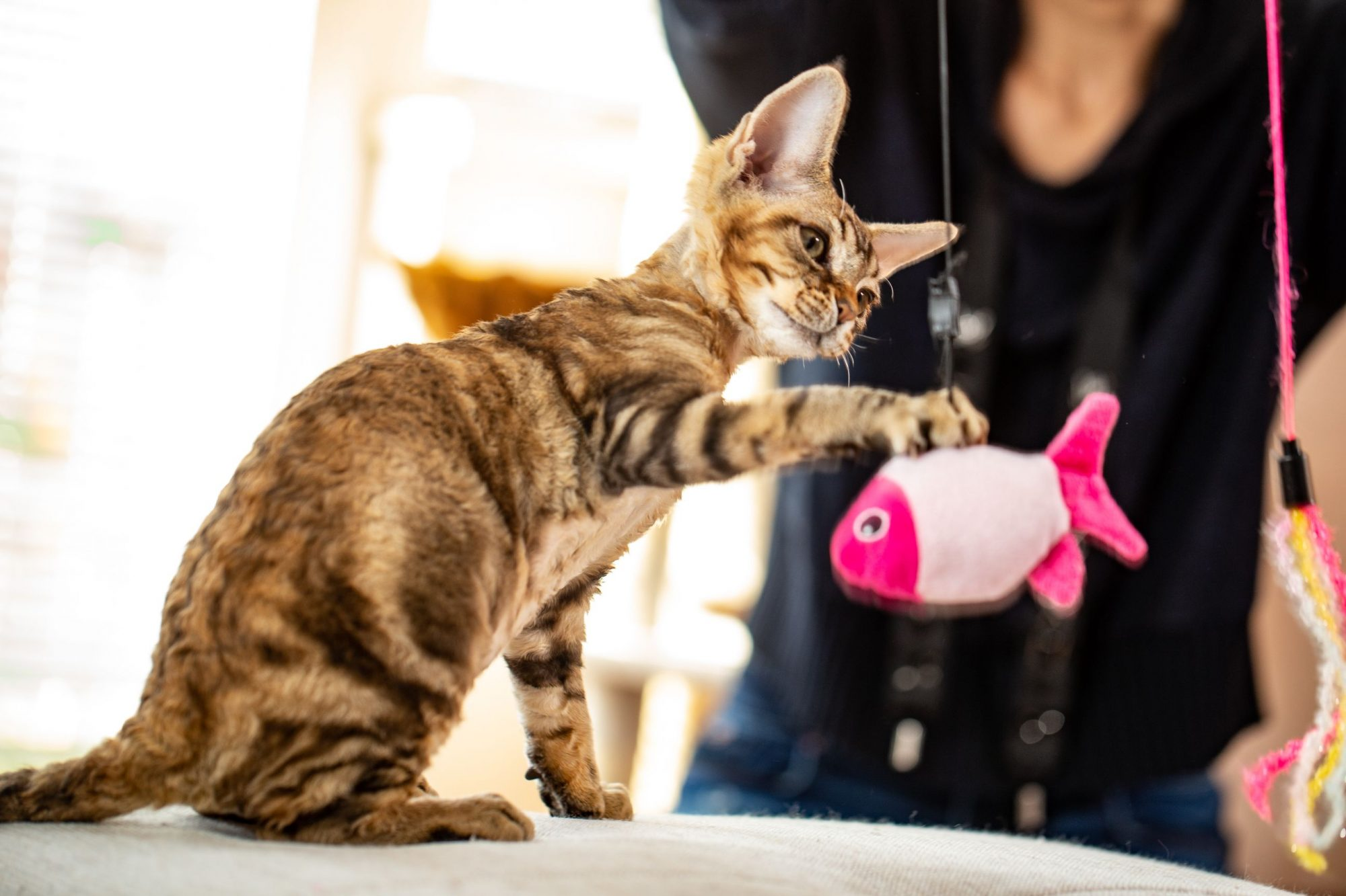 Tabby cat playing with fish toy.