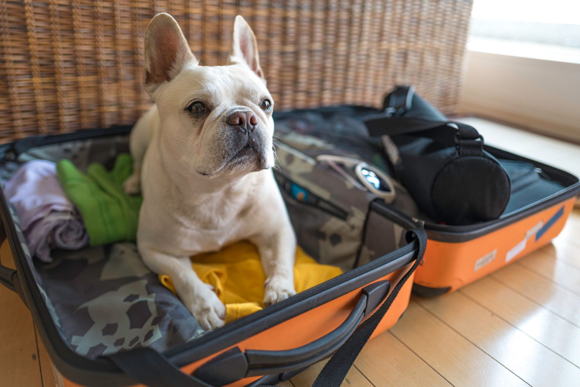 Pet boarding: a pet getting ready to go on vacation boarding.