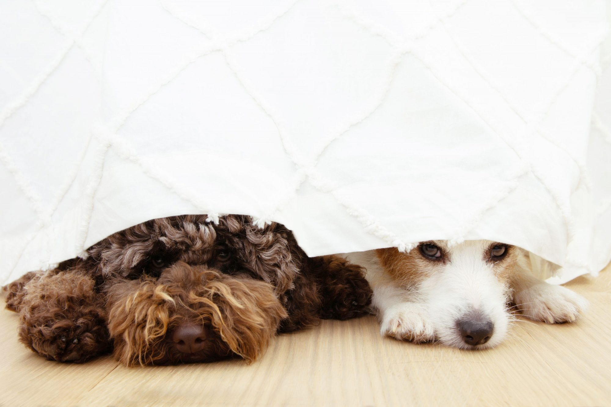Two dogs hide under a blanket from the sound of fireworks.