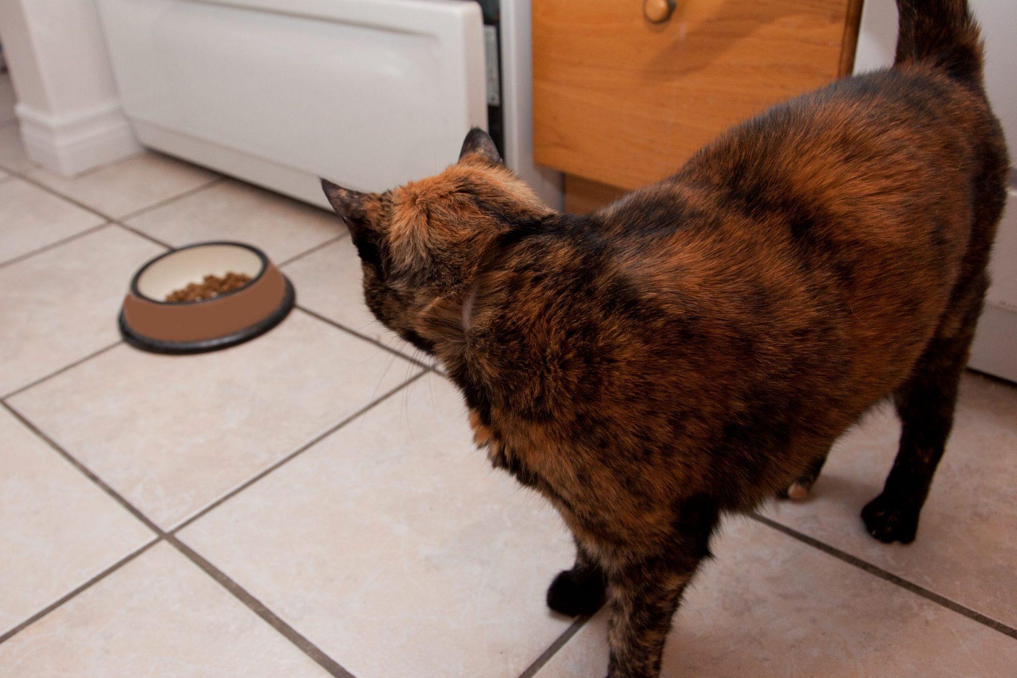 Cat staring at food not eating.