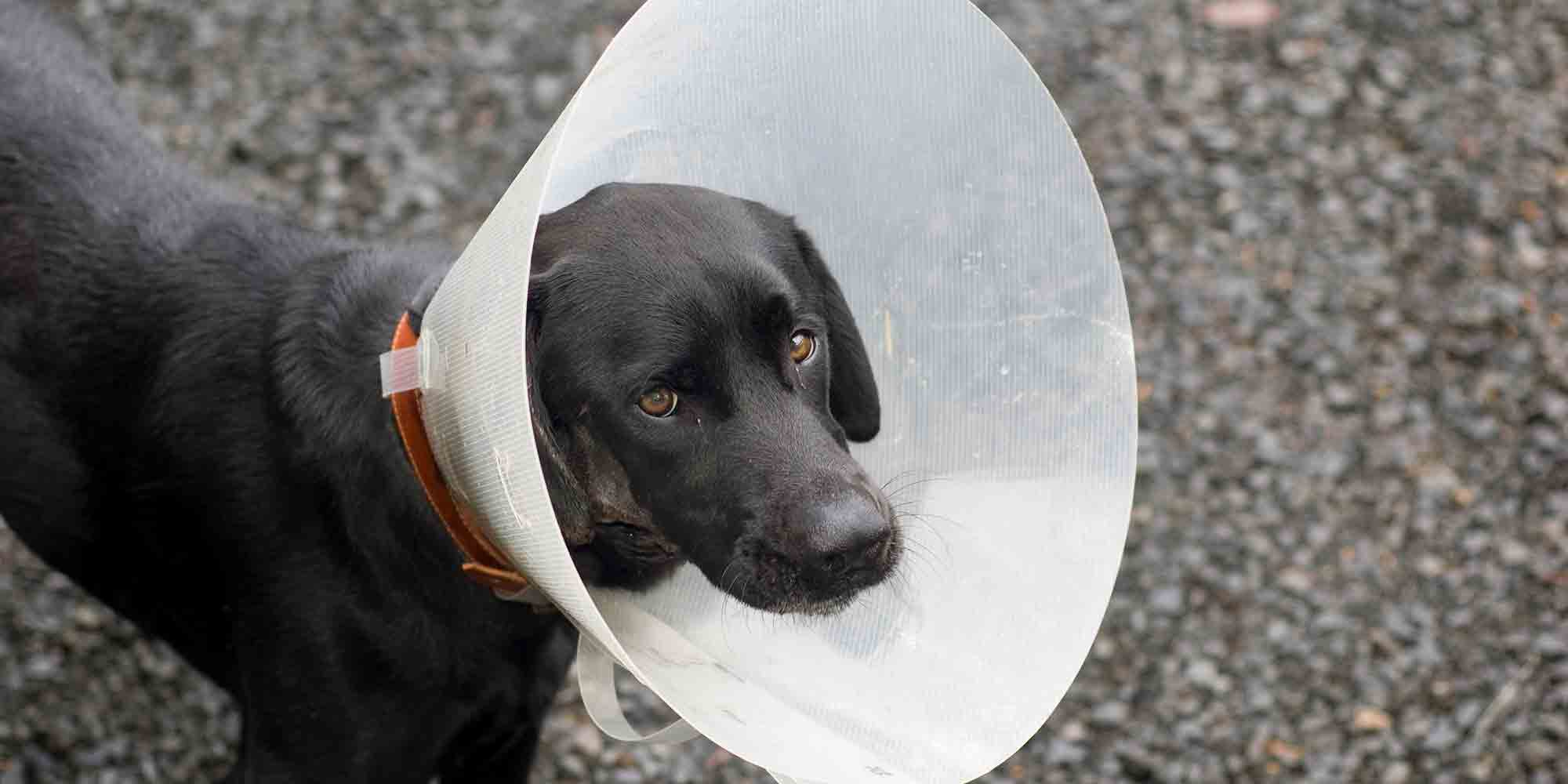 Black dog in cone